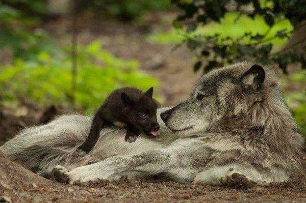 ANIMAUX : loups-WOLFS