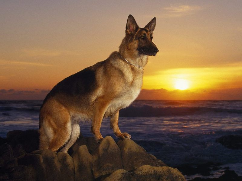German-Shepherd-Dog-Animal-Wallpaper-2864.jpg
