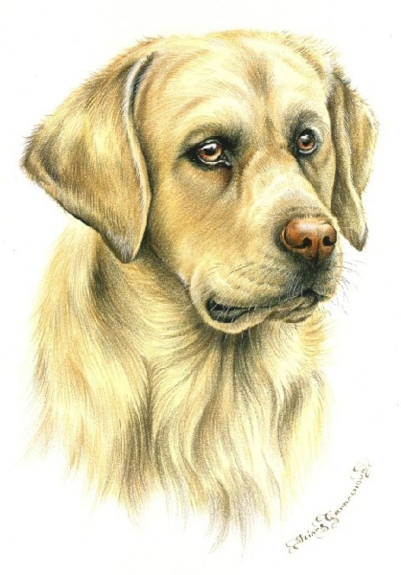 Golden-Labrador.jpg