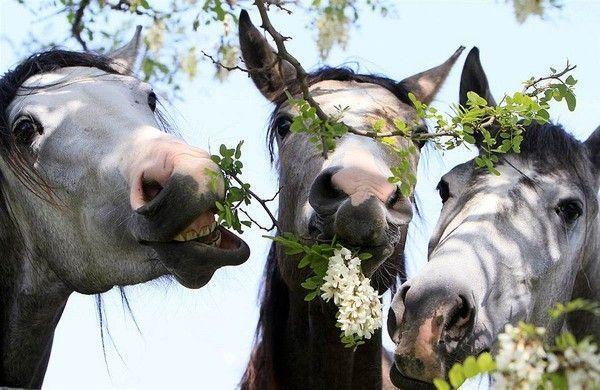 ANIMAUX : chevaux-HORSES
