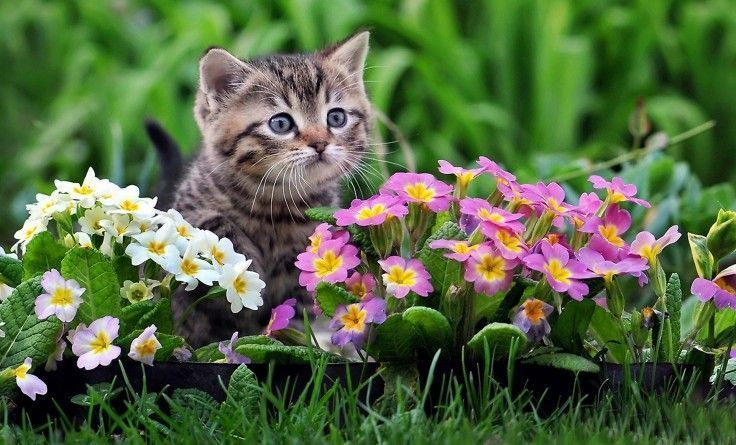 cats-cat-primrose-flowers-small-photography-pink-cute-animals-spring-green-garden-full-hd-animal-wallpapers-736x445.jpg