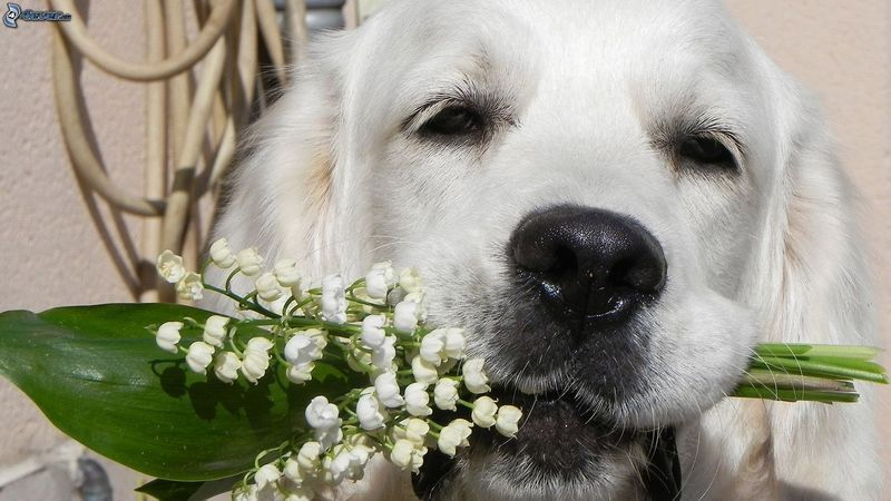 chien-blanc--muguet-214918.jpg
