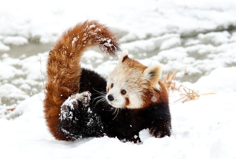 chinese-panda-1985466_1280.jpg