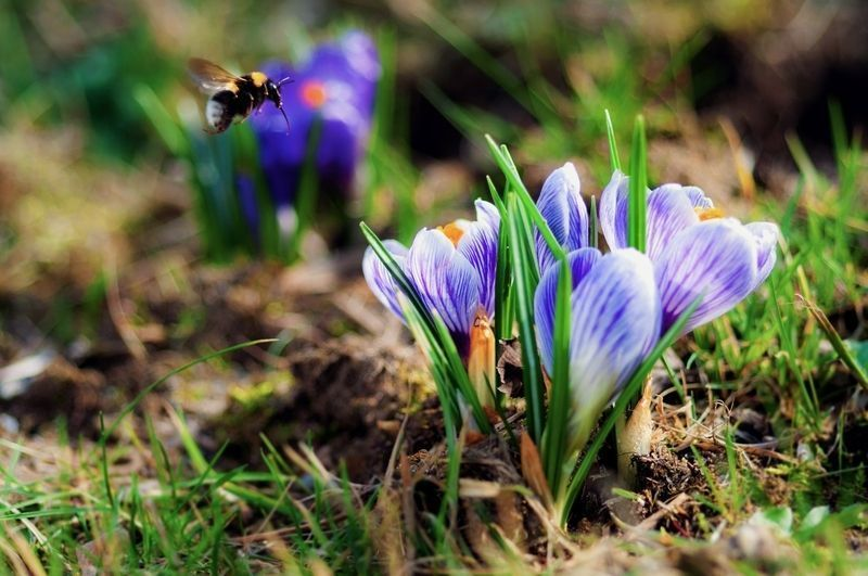 closeup-nature-flowers-insects-spring-season-bumblebee-bees-blurred-2560x1700-wallpaper_www-wall321-com_2.jpg
