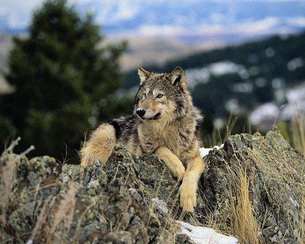ANIMAUX: loups-WOLFS