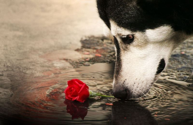 dog-and-red-hd-wallpaper-fond-ecran-hd-chien-avec-rose-rouge.jpg