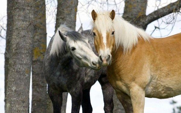 ANIMAUX:chevaux-HORSES