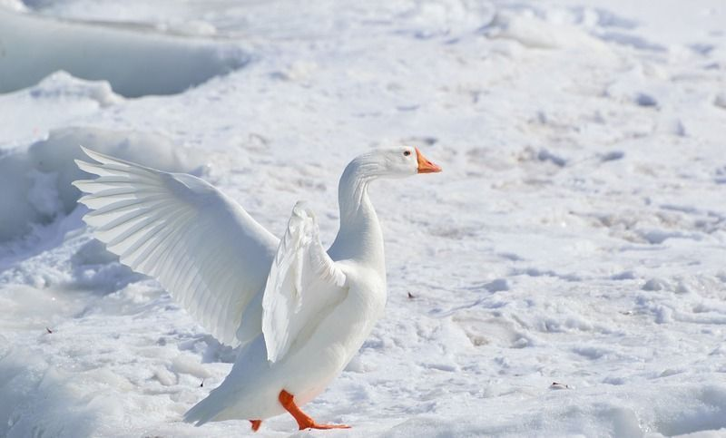 greater-snow-goose-284211_1280.jpg