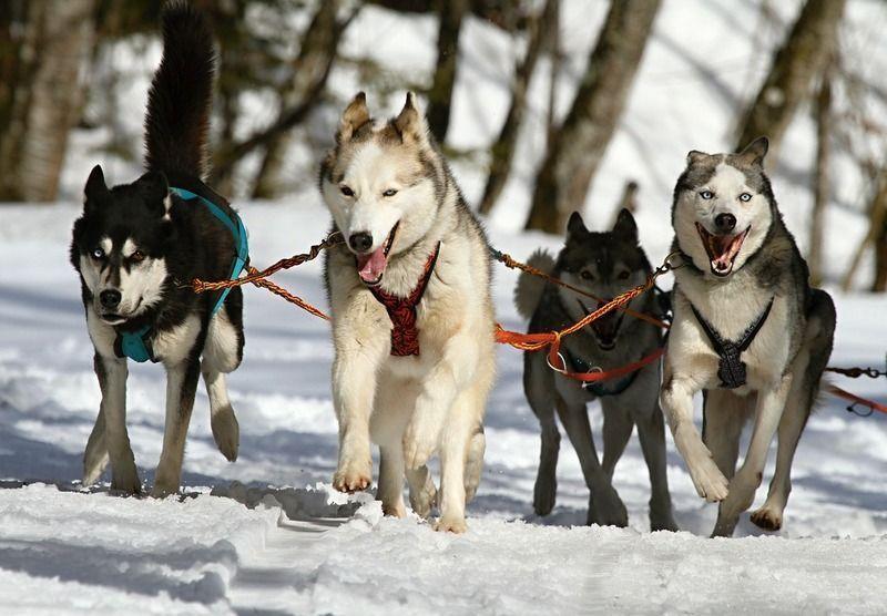 huskies-273409_1280.jpg
