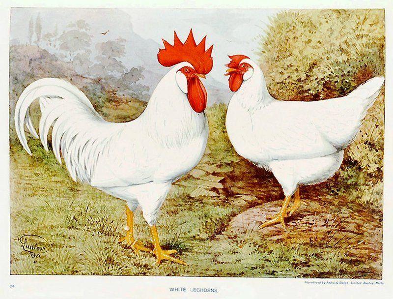 image-ancienne-poule-coq2.jpg