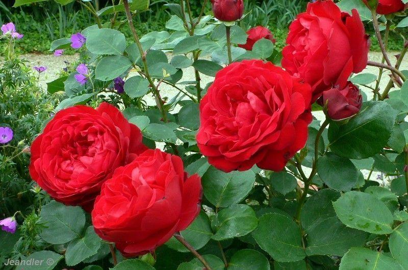 les-roses-de-saadi-63-1180012410.jpg