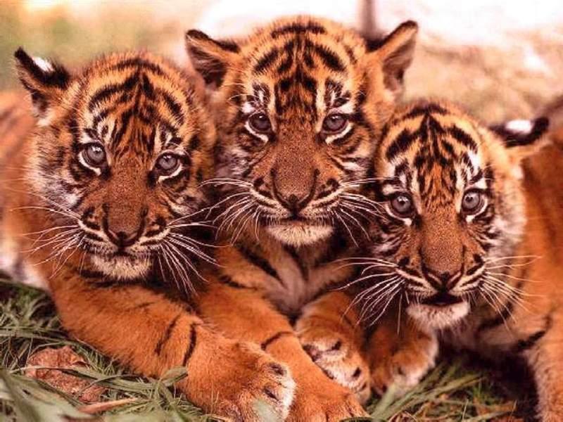 tiger15.jpg